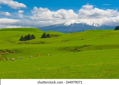 Beautiful landscape of the New Zealand - hills covered by green grass with herds of sheep with a mighty volcano Mt. Ruapehu covered by snow behind.  New Zealand