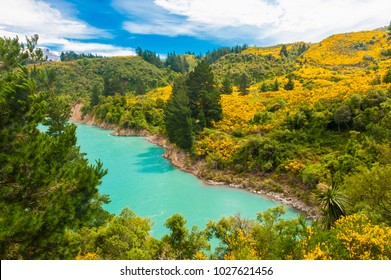 Beautiful landscape of New Zealand with turquoise river and blooming yellow gorse