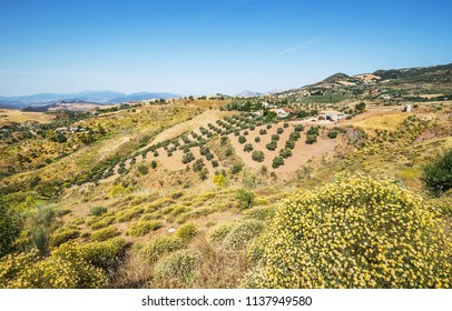 Beautiful landscape with olive gardens and fields, near Malaga, Andalusia, Spain.