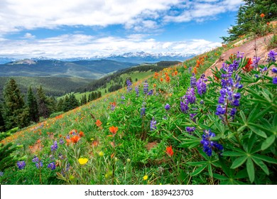 Beautiful landscape panorama full of wildflowers grass evergreen trees bright blue sky. Purple blue orange red yellow colors bluebonnets paintbrushes in Colorado rocky mountains during summer vacation