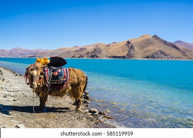 Beautiful landscape picture of Yamdrok lake in Tibet,yak
