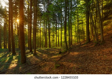 Beautiful landscape in a pine forest with the rays of the morning sun in the spring