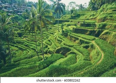 Beautiful landscape with rice terraces and coconut palms near Tegallalang village, Ubud, Bali, Indonesia.