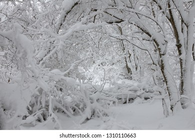 Beautiful landscape with snow covered branches in winter forest