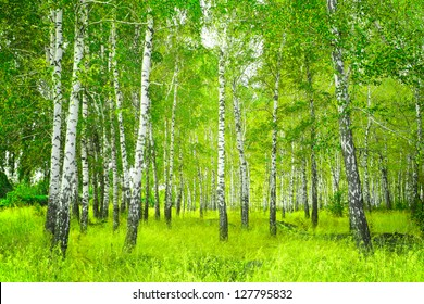 Beautiful landscape - summer birchwood