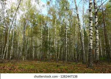 Beautiful landscape - summer birchwood