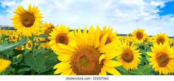Beautiful landscape with sunflower field under cloudy blue sky
