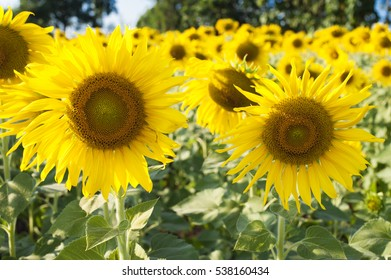Beautiful landscape with sunflower over blue sky and bright sun lights