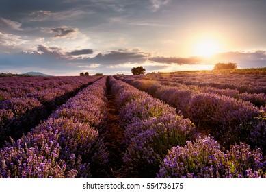 Beautiful landscape of sunset over lavender field