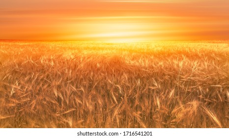 Beautiful landscape of sunset over  wheat field at summer -  Golden wheat in the field at sunset light.