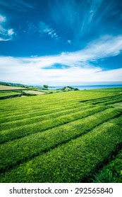 Beautiful landscape of tea plantation in Sao Miguel island, Azores, Portugal