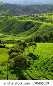 beautiful landscape tea Plantation west Java Ci wi dey West Java