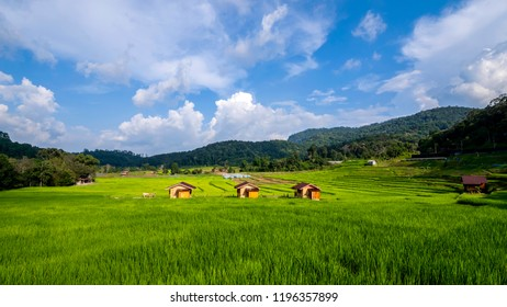 Beautiful landscape of three house and green paddy field / rice field fram under blue sky and white cloud in the afternoon at countryside in Chiangmai, Thailand