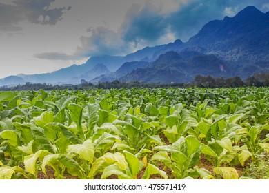 Beautiful landscape Tobacco field plantation under blue sky