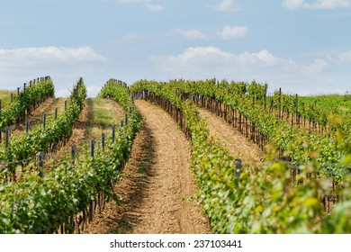 Beautiful landscape in the Tokay grapes - Hungary