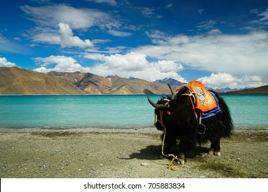 Beautiful landscape of turquoise Pangong lake or Tso in Ladakh India. In background lies scenic mountain range under bright blue sky and white cloud. Black Yak with Tibetan ornaments is seen.