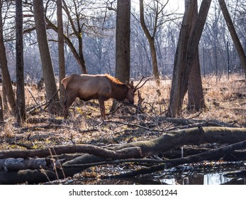 Beautiful landscape view of an adult male bull elk deer with brown fur and antlers in the Busse Forest Preserve elk pasture with tall yellow grasses, trees and water in background in Elk Grove Village