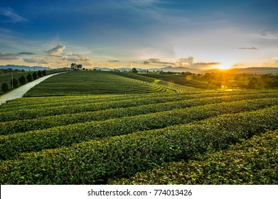 Beautiful landscape view of choui fong tea plantation with sunset at Maejan , tourist attraction at Chian grai province in thailand