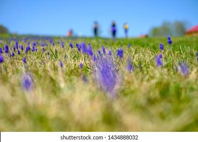 Beautiful Landscape viollet Flower field