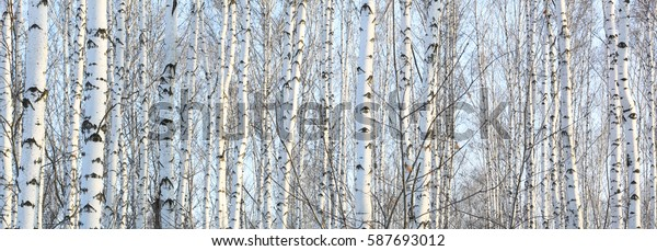 Birch trees in bright sunshine wall mural