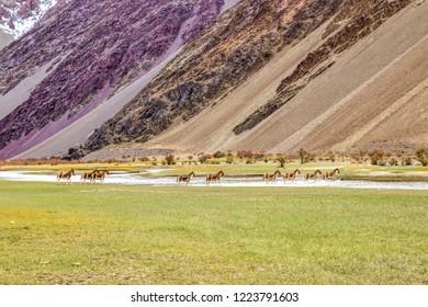 Beautiful landscape with wild horses- Leh Ladahk, India