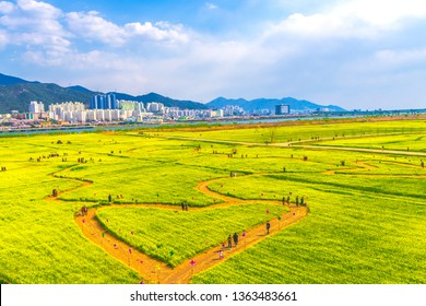 Beautiful landscape with yellow rapeseed field against the blue sky in Daejeo Park,Busan,South korea
