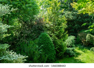 Beautiful landscaped garden with evergreens. Many boxwood trees, fir Abies koreana Silberlocke and thuja occidentalis. Peaceful atmosphere. Summer landscape, fresh wallpaper and nature background