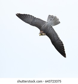 A beautiful Lanner Falcon in flight against a bright sky