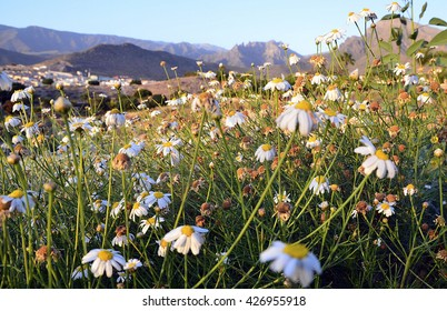 Beautiful lanscape with chamomile flowers in Costa Adeje,Tenerife,Canary Islands.Selective focus.