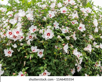 Hardy Hibiscus Tree Images Stock Photos Vectors Shutterstock