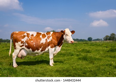 Beautiful large brown white milk cow. White with brown spots. Single cow stands in grass field with flowers in dutch countryside near Amsterdam. Netherlands.