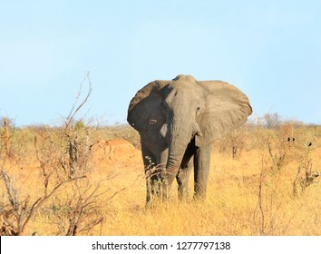 Beautiful Large Bull Elephant standing looking ahead on the dry hazy African Savannah with a clear blue pale sky in Hwange National Park, Zimbabwe, Southern Africa