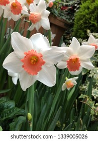 Beautiful Large cupped daffodil narcissuses / Isolated Double coloured narcissuse flowers/ Scented Pink with white colour narcissuse flowers/ Narcissuse Garden
