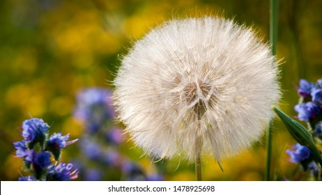 A beautiful large dandelion species gone to seed set in a grassy meadow.