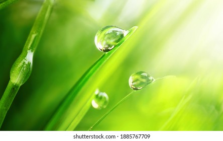 Beautiful large drops of fresh morning dew in juicy green grass macro. Drops pure transparent water spring summer in nature. A beautiful artistic image of beauty and purity of environment.