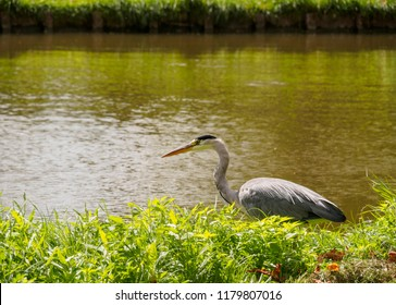 A beautiful large heron bird on the canal bank in green grass on a bright sunny day in the Dutch town of Vlaardingen (Rotterdam, Netherlands, Holland)