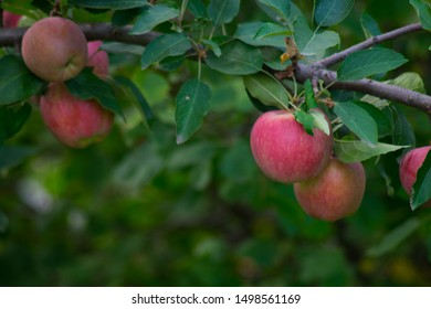 Beautiful large red apples close-up on a green tree on a branch of an Apple tree in the garden on a blurred green background of leaves.