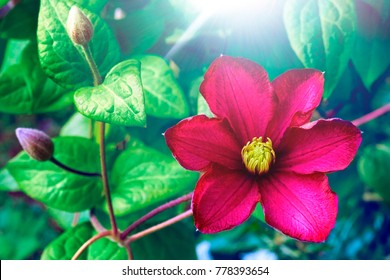 Beautiful large scarlet clematis flower on a background of green leaves in nature close-up macro. Gorgeous snazzy colorful artistic image spring, summer.