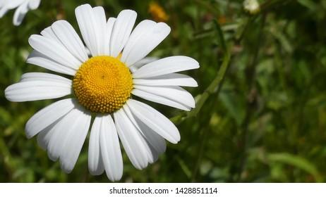 Beautiful large summer daisy, Shasta daisy in bloom