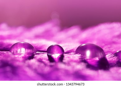 Beautiful large water dew drops on a purple feather close up. Nature background.
