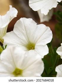 hermosas flores blancas grandes de Petunia (Trailing) Fanfare White en la flor de verano, Wiltshire UK