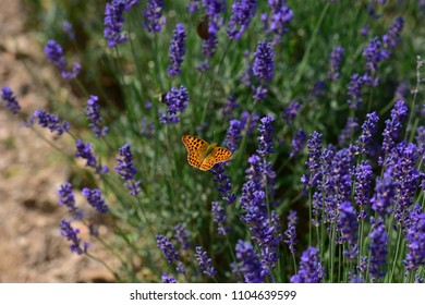 Beautiful lavander flowers and butterfly