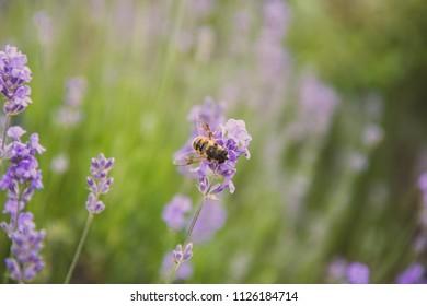 Beautiful lavender bee