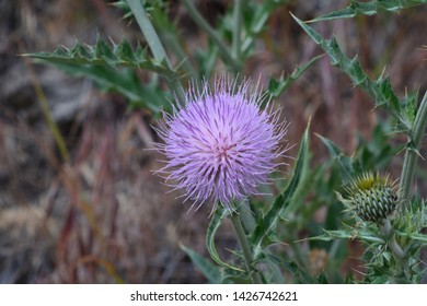 Beautiful Lavender colored Thistle Flower