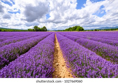 Beautiful lavender field in bloom, blue sky with clouds.