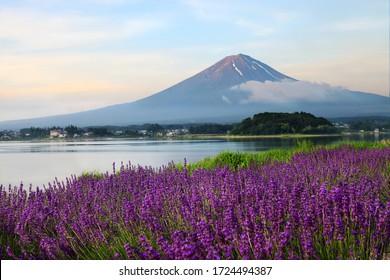 大石公園、山梨・川口湖、富士山を背景に早朝に美しいラベンダー畑