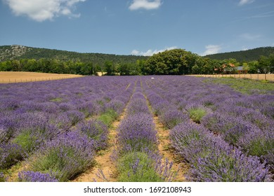 Beautiful lavender field with mountains