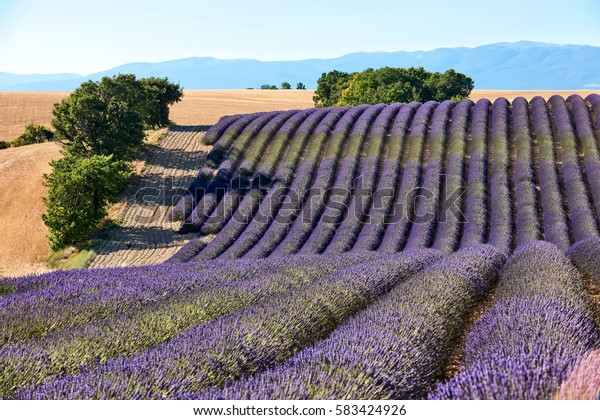 Beautiful lavender field in Provence during a sunny summer day