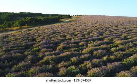 Beautiful lavender field in Provence near the green trees against blue morning sky at the sunrise. Shot. Aerial view of the path in the lavender field.