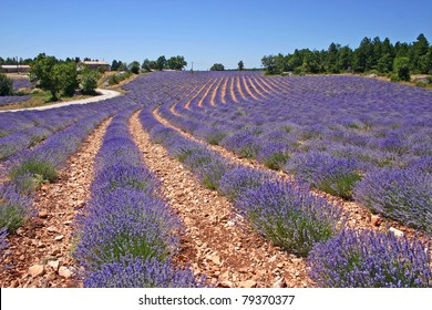 Beautiful lavender field in Provence, southern France